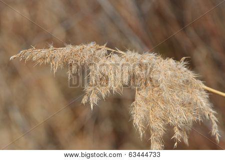 Panicle Dry Grass