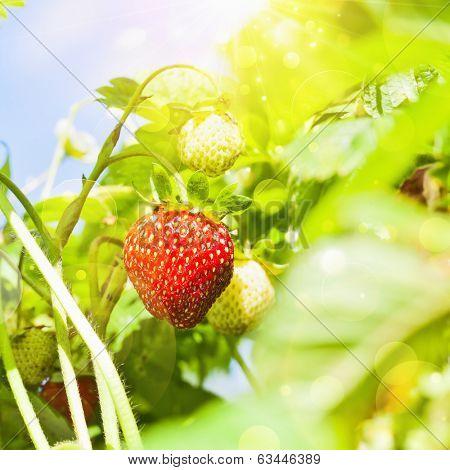 Fresh strawberries plant closeup with bright sunlight