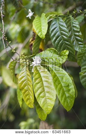 Coffe Leaves