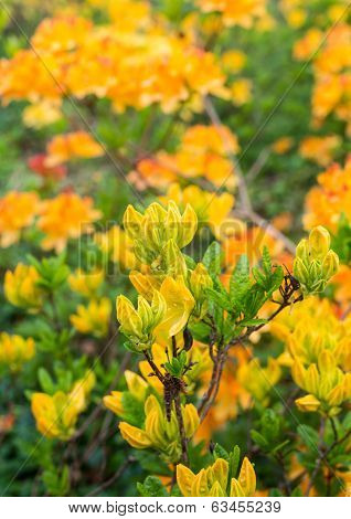 Budding Japanese Azalea In Springtime