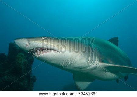 A sand tiger shark