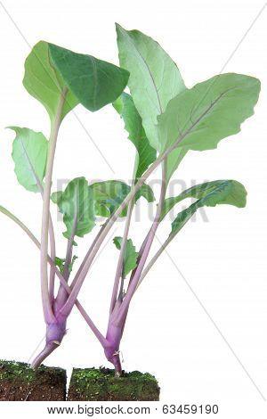 Seedlings Of Kohlrabi