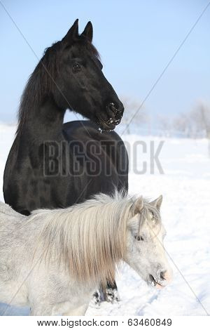Grey Pony With Black Friesian Horse