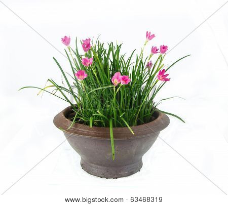 Rain Lily -Zephyranthes spp. flower in flower pot on white