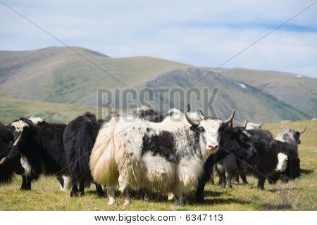 Grunting Ox