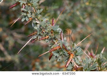 Prickly Acacia Bushes