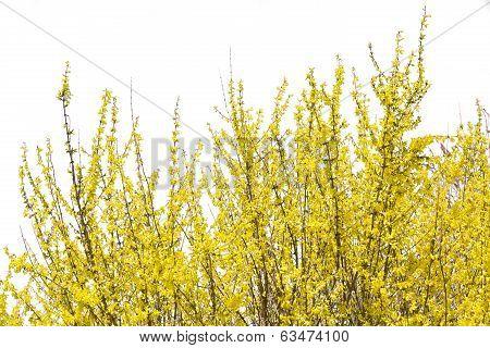 Blooming forsythia bush isolated on white background
