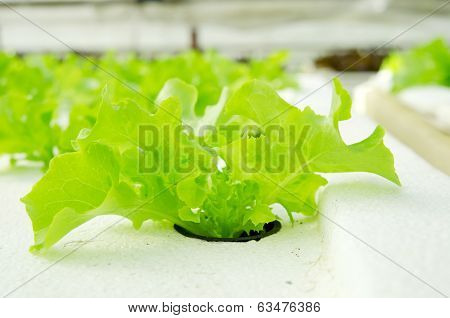 Closeup Of Lettuce