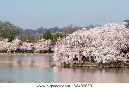 Tourists Stroll By The Cherry Blossoms