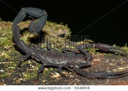 Amazon Black Scorpion (Tityus sp.)