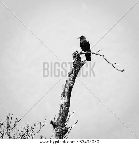A crow bird on a dead tree, black and white