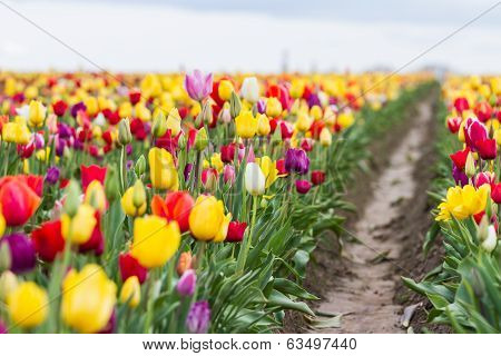 Colorful  Tulip Farm