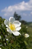picture of rosa  - White wild rose  - JPG