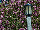 stock photo of japanese magnolia  - Lamp post in Portland - JPG