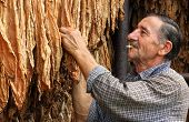 stock photo of tobacco barn  - Farmer looks and controls dry tobacco leaf in the dryer - JPG