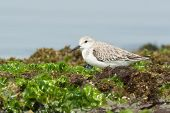 Sanderling Resting In Seaweed At The Beach