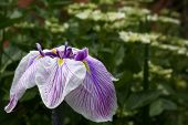 pic of purple iris  - Purple and White Iris with a blurred green background - JPG