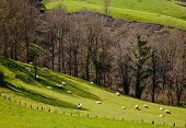 pic of basque country  - Sheeps on the grass at Basque Country - JPG