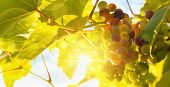Fresh grape vine in bright sunshine. Summer sun lights.