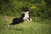 stock photo of collie  - Border collie dog catching the frisbee on the green meadow - JPG