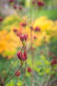 image of molly  - Twigs with magenta colored buds of a Japanese Azalea or Rhododendron molle subsp. japonicum shrub. ** Note: Shallow depth of field - JPG