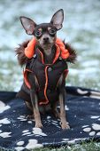 picture of blanket snow  - Nice prague ratter with dog clothes sitting on blanket in winter - JPG