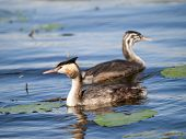 foto of great crested grebe  - Swimming Great - JPG