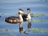 picture of great crested grebe  - Swimming Great - JPG