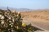 Roses  In The Desert