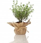 Young fresh vegetable thyme sprout seedling in brown terracotta pot wrapping bag cloth isolated on w