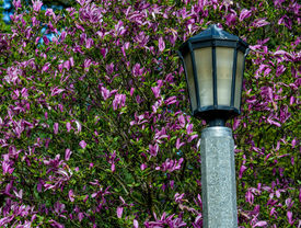 picture of japanese magnolia  - Lamp post in Portland - JPG