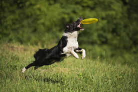 picture of frisbee  - Border collie dog catching the frisbee on the green meadow - JPG