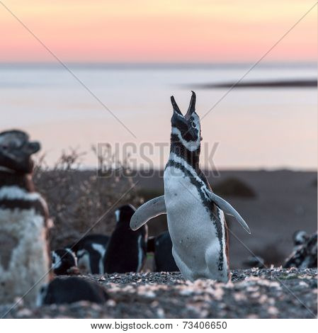 Magellanic Penguins, Early Morning At Punto Tombo, Patagonia, Argentina