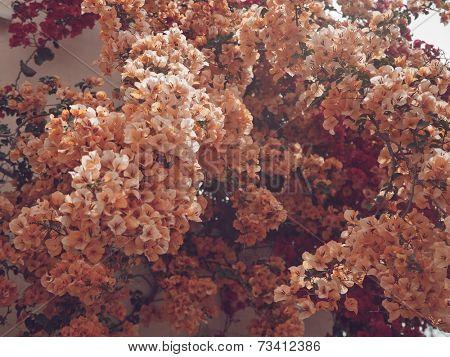 Pink flower on the tree, island in Greece, Zakinthos