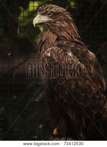 Sitting eagle portrait. Zoo.