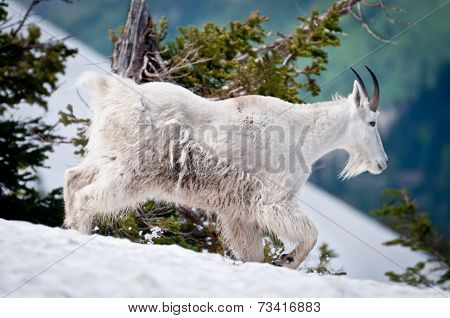 Mountain Goat Threads His Way Through The Snow
