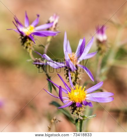 Purple wild flowers with yellow center