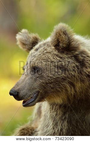 Bear Portrait In Forest