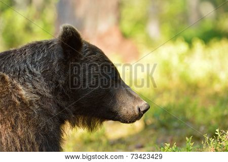 Brown Bear Portrait In Forest