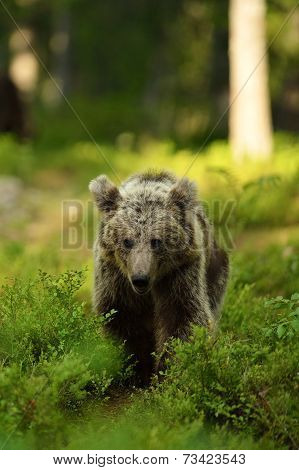 Young Bear In Forest