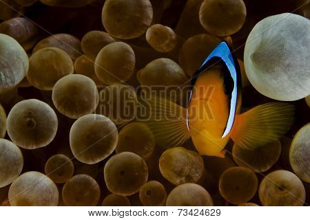 anemone fish aka clown fish
