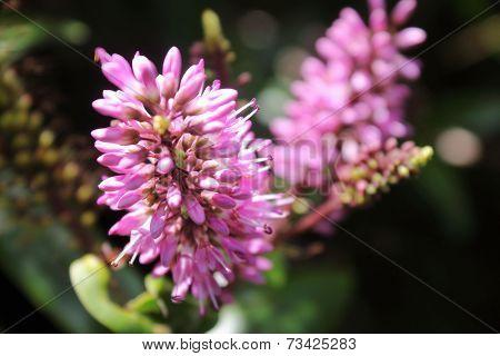 New Zealand Hebe Flowers