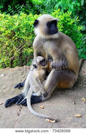 black face monkey nourishing her baby