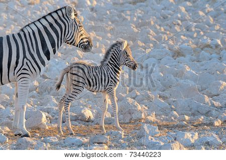 Zebra Mother And Foal, Okaukeujo Waterhole