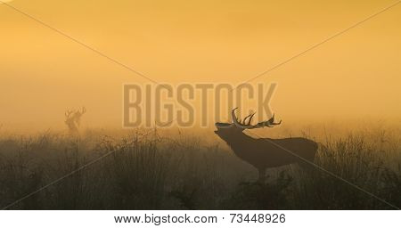 Red Deer Stag Bellowing With Stag In Background