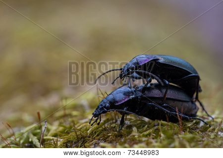 European Ground Beetles