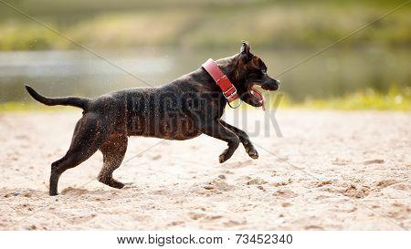 Staffordshire Bull Terrier.