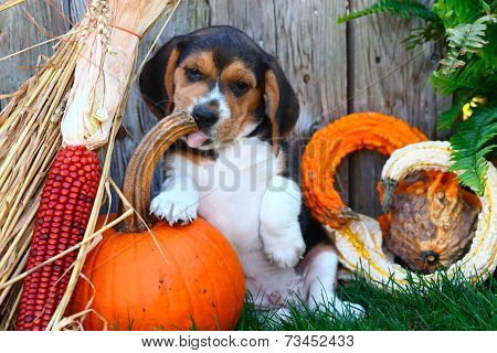 Beagle puppy licking pumpkin stem