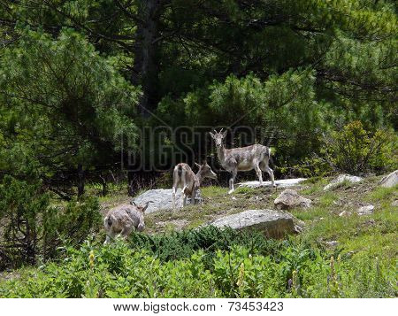 Rare Musk Deers In A Himalayan Pine Forest