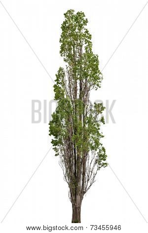 high poplar isolated on white background